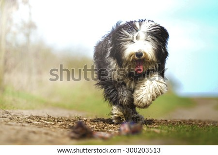 crazy Old English Sheepdog dog puppy with frisbee running - stock photo