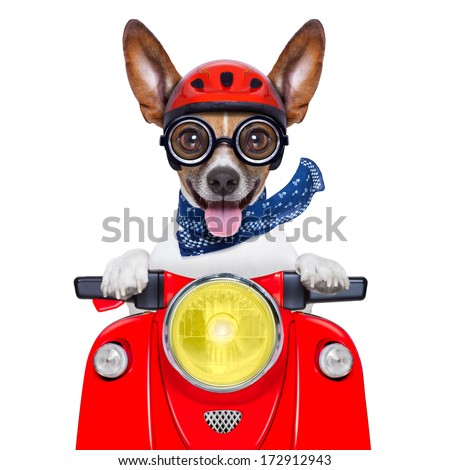 crazy silly motorbike dog with helmet and sticking out the tongue - stock photo