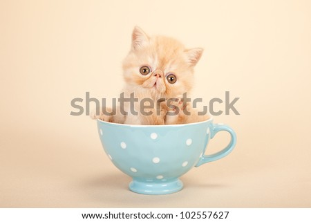 Cream Exotic kitten sitting in large blue cup on beige background - stock photo