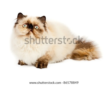 Cream Persian cat lying on white background - stock photo