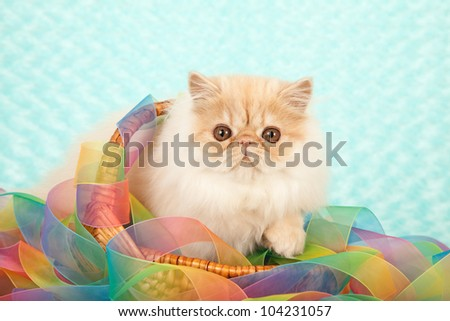 Cream Smoke Cameo Persian kitten sitting in bowl with tie dye ribbon on aqua fake faux fur background - stock photo