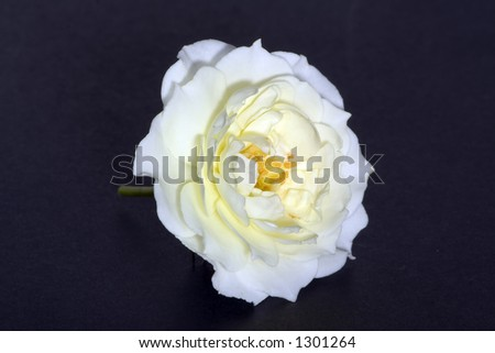 Cream-white rose over black - stock photo