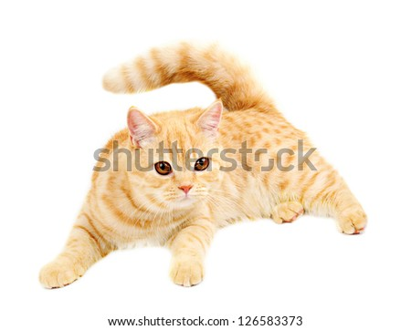 British cat isolated stock photos illustrations and vector art