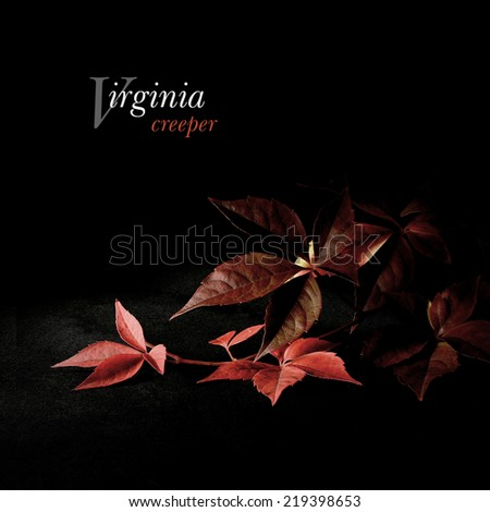 Creatively lit Virginia Creeper in autumnal colours against black. Copy space. Concept image for autumn, changes, ageing. Copy space. - stock photo