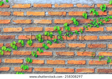 Creeper plant on a red brick wall - stock photo