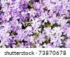 Creeping Phlox, Phlox subulata Emerald Blue, in full bloom in early spring - stock photo