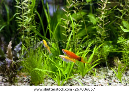 Cremecicle Lyretail Molles and Red Wag Swordtail and swimming in planted fish tank; focus on a front couple of fish - stock photo