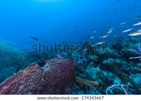 Creole wrasse swimming by a barrel sponge - stock photo
