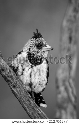 Crested barbet sitting on branch, black and white - stock photo