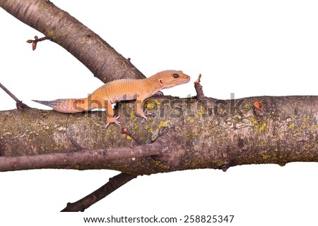 Crested gecko sitting on a branch isolated on white background - stock photo