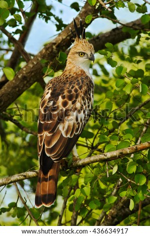 Crested Hawk Eagle, Spizaetus cirrhatus ceylanensis, beautiful bird of prey from Sri Lanka. Raptor in the nature habitat. Bird of prey sitting on the tree. Crested Hawk Eagle on the tree. - stock photo