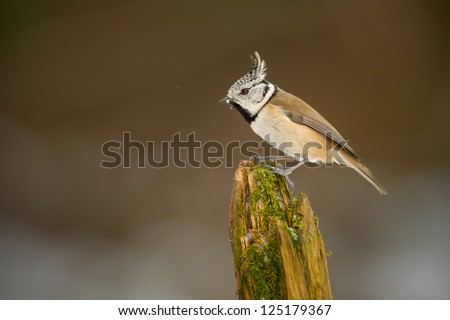 Crested tit asserts his position on the perch - stock photo