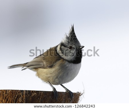 Crested tit, bright background - stock photo
