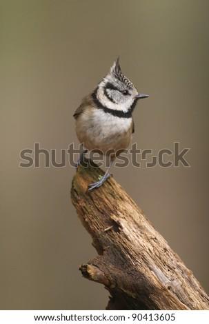 Crested Tit (Lophophanes cristatus) - stock photo