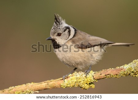 Crested tit on a twig (Lophophanes cristatus) - stock photo