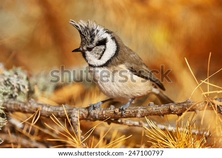 crested tit perched on a branch of larch in autumn - stock photo