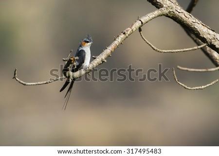 Crested treeswift in Ella, Sri Lanka ; specie Hemiprocne coronata - stock photo