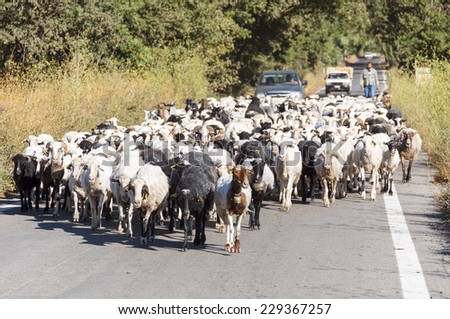 CRETE, GREECE - SEPTEMBER 13. Flock of Goats on the Street to Rethymno on September 13, 2014. The goats are brought from the mountains in their winter shelter in the villages - stock photo