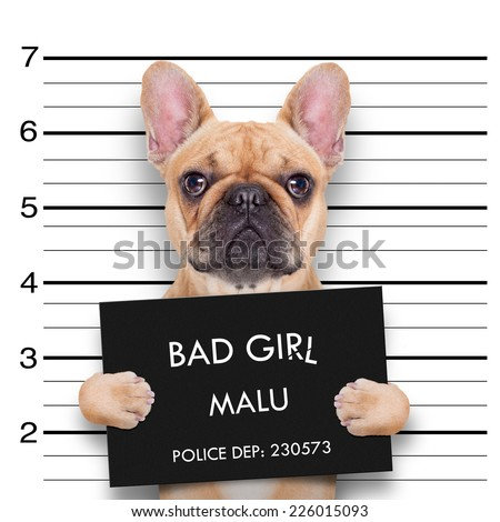 criminal  bulldog , at the police station , mugshot photo - stock photo