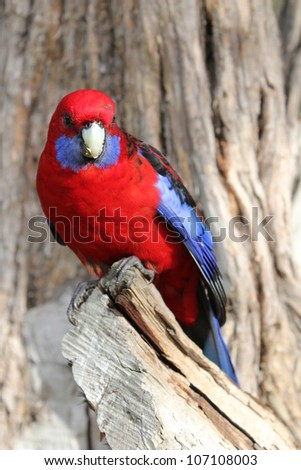 Crimson Rosella Playtycercus elegans - stock photo