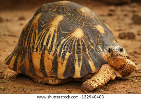 Critically Endangered Radiated Tortoise (Astrochelys radiata) looks around and eats vegetation in Madagascar. This species is one of the most endangered tortoises in the world. - stock photo