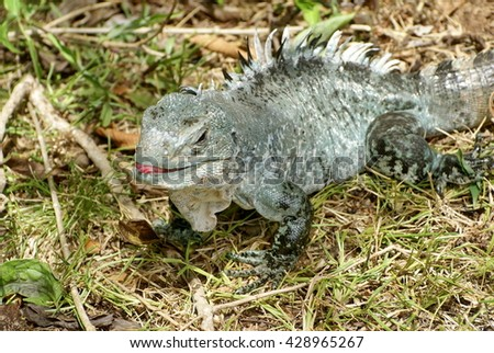 Critically endangered Utila Iguana (Ctenosaura bakeri) in the grass, with its tongue sticking out - stock photo