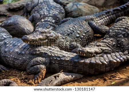 crocodile, alligator on an ox - stock photo