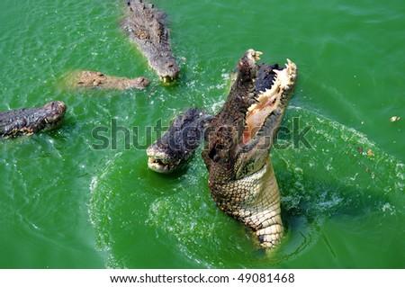 Crocodile attack in the green river water - stock photo