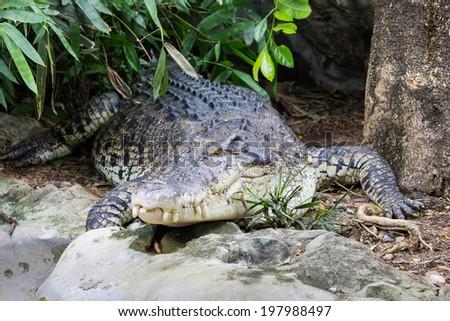 Crocodile dwell in the zoo - stock photo