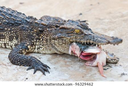 Crocodile eating fish - stock photo