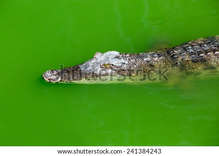Crocodile farm in Phuket, Thailand. Dangerous alligator in wildlife - stock photo