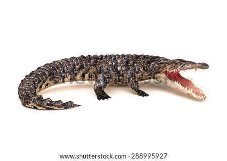 Crocodile in aggressive stance isolated on a white background. - stock photo