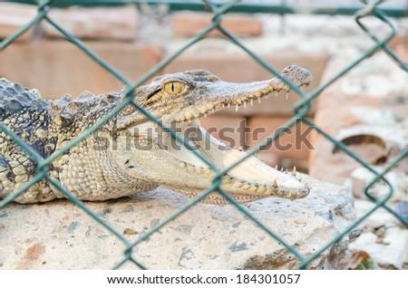 Crocodile in captivity , Baby crocodile in captivity , Crocodile mouth , Crocodile open mouth in cage , Baby crocodile mouth - stock photo