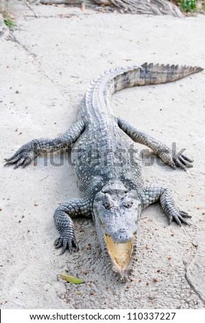 Crocodile in Thailand Farm - stock photo