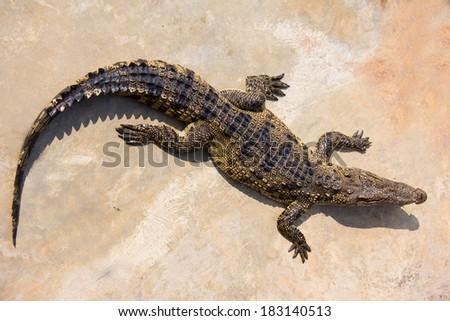 crocodile laying in farm - stock photo
