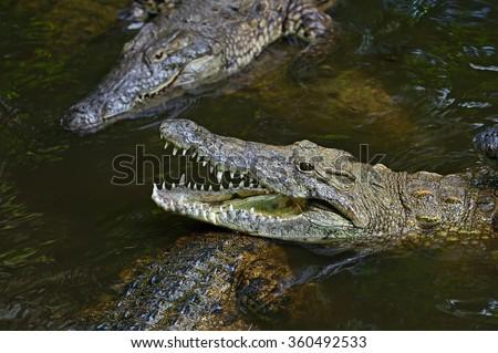 Crocodile Masai Mara National Park in Kenya - stock photo