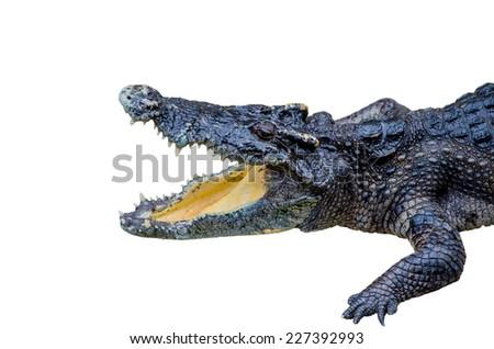 crocodile on white background. - stock photo
