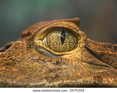 Crocodile's eye took close - portrait of exotic reptile - stock photo