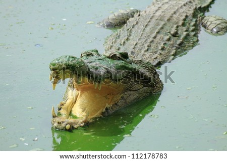 Crocodiles - stock photo