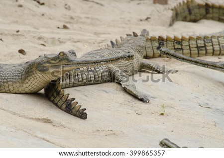 crocodiles or true crodiles are large aquatic reptiles that live throughout the tropics . the alligators and caimans ,the gharials, and all other living and fossil Crocodylomorpha. - stock photo
