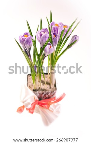 Crocus bouquet. Crocus Striped Beauty with its grass-like leaves in the process of blooming. Spring flowers. Flower pot with violet crocuses on a table. - stock photo