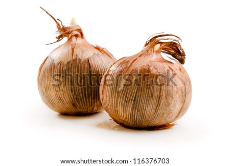 crocus bulbs on the white background - stock photo