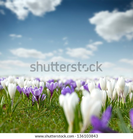 Crocus flower meadow - stock photo