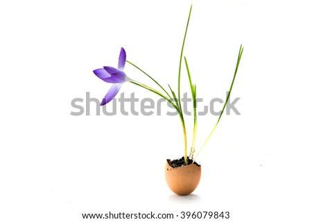 crocus flower planted in an eggshell, cute decoration ideas for Easter and spring, isolated with small shadow on a white background - stock photo