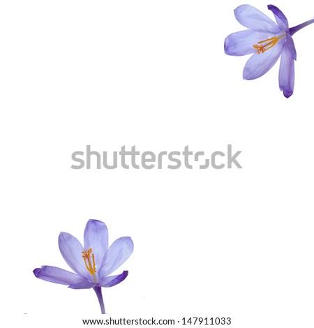 Crocus flowers.Minimal frame. - stock photo