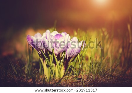 Crocus flowers on field at sunset - stock photo