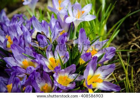 crocus flowers with purple petals  - stock photo