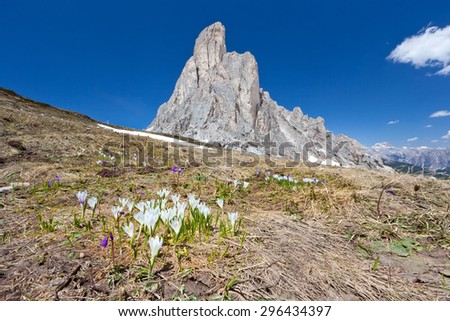 Crocus meadow in Dolomiti mountains - Italy - stock photo