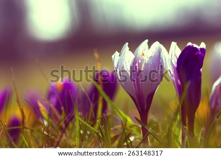 Crocus Saffron Flower in Vintage Style - stock photo