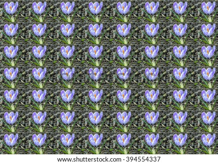 Crocus, spring flower in Germany - stock photo